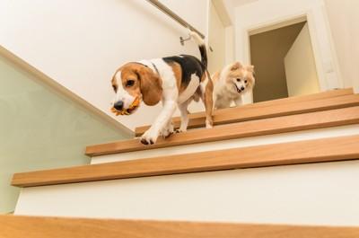 オモチャを咥えて階段を下りる犬