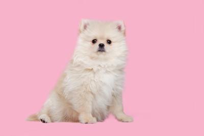 ピンクの背景と座っているポメラニアンの子犬