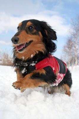 雪遊びのダックス