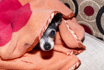 ブランケットに隠れている犬