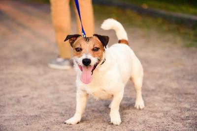 散歩中に舌を出す犬