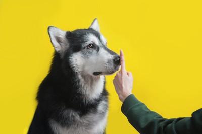ハスキー犬の鼻に人差し指を立てて近づける飼い主