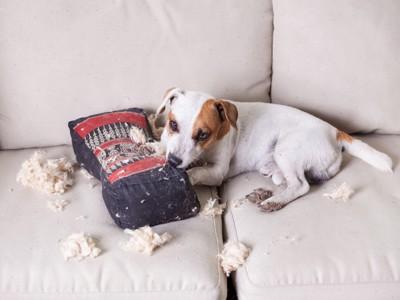 枕を破壊するジャックラッセルテリア