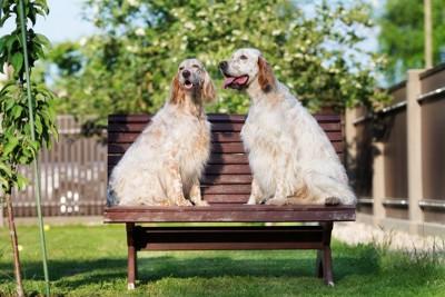 ベンチに座る2匹のイングリッシュセッター