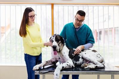 獣医師に診察されるグレートデンと飼い主