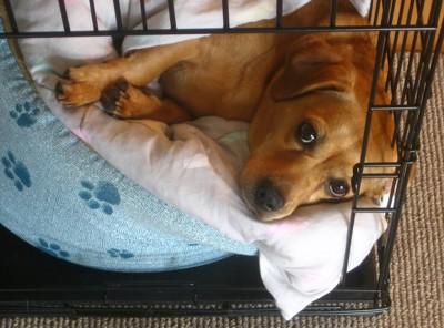 ケージの中の青いベッドでくつろぐ犬