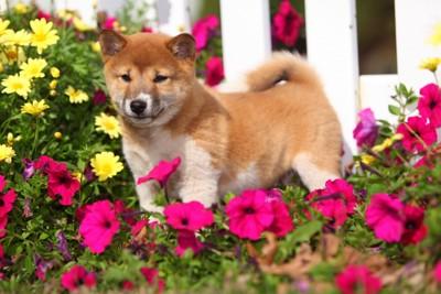 柴犬の子犬のしっぽ