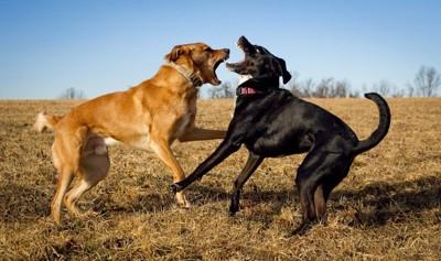 喧嘩をする犬2匹