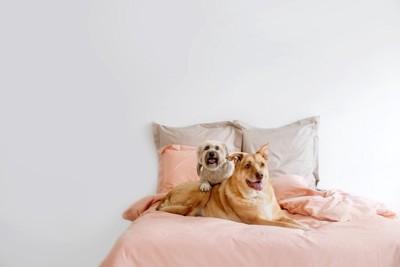 ベッドの上でくつろぐ2頭の犬