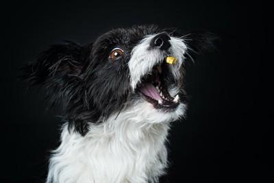 投げられたおやつを口でキャッチする犬