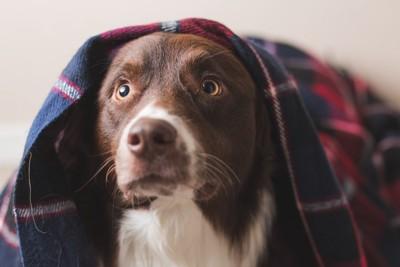 布を被って驚いている犬