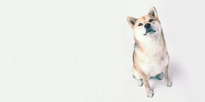上を見上げて座る柴犬