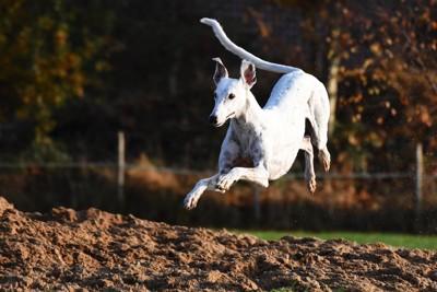 飛ぶように走るグレイハウンド