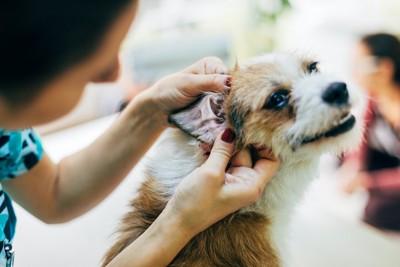 耳の中を診てもらっている犬