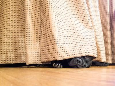 カーテンに隠れる犬