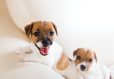 こちらを見つめる二匹のジャックラッセルテリアの子犬