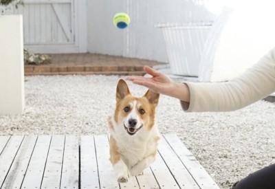ボール遊びをするウェルシュ・コーギー・ペンブローク