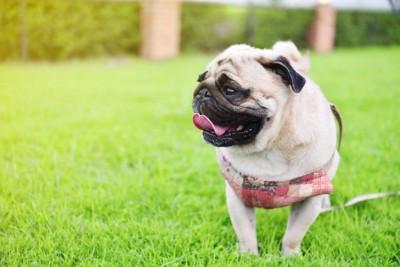 芝生で舌を出すパグ