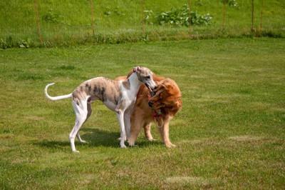 おもちゃで遊んでいる二頭の大型犬