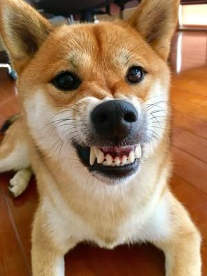 牙を見せている柴犬