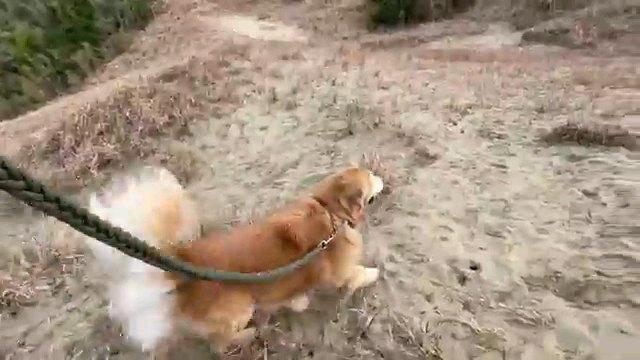 リードつけて歩く犬