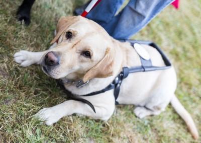 伏せをして待つ盲導犬、ラブラドール