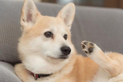 足を上げている犬
