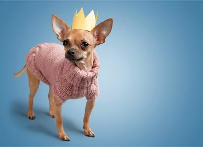 王冠とニットを着たチワワ