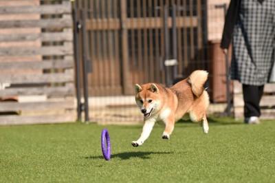 おもちゃを追いかける柴犬