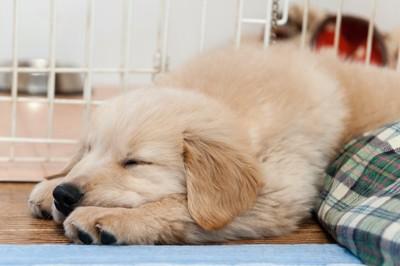 気持ち良さそうに眠るゴールデンレトリバーの子犬