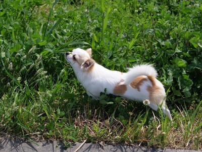 散歩中に草むらの匂いを嗅ぐ犬