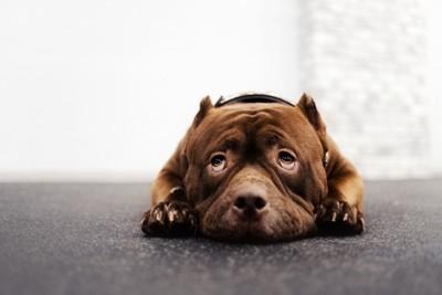 怯えて床に伏せる犬
