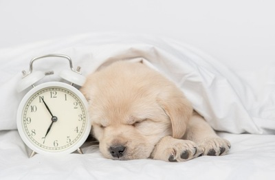 時計と眠るゴールデンの子犬