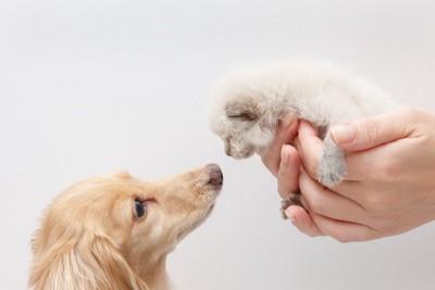 手のひらサイズの子猫を見つめるダックスフンド