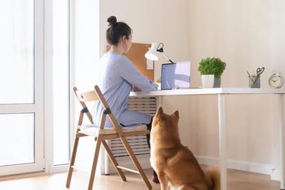 椅子に座ってPC作業をする飼い主を見守る柴犬