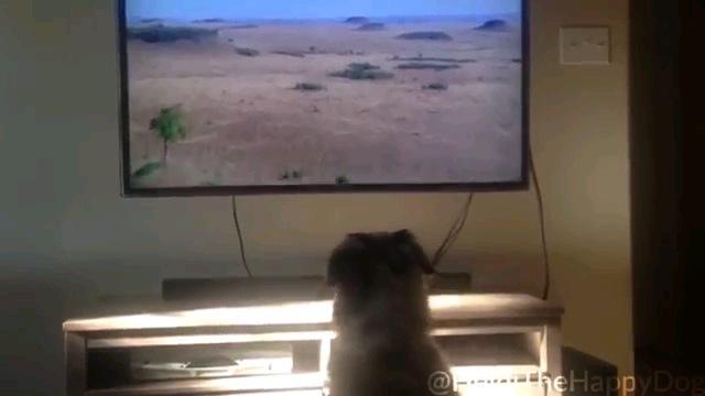 テレビ観る犬