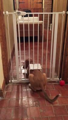 猫用のドアから出る犬