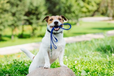 青いリードを咥える犬