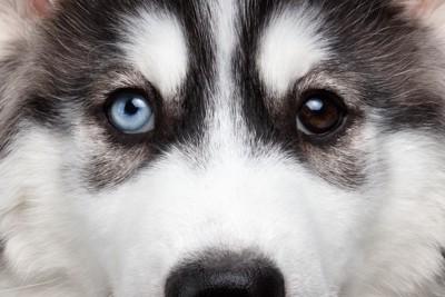 オッドアイのハスキーの子犬