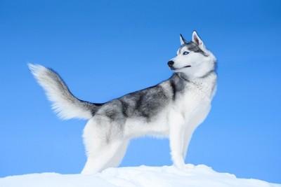 雪に立つシベリアンハスキー