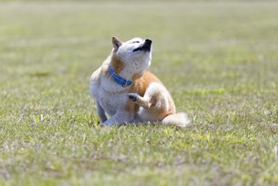 後ろ足で体を掻く柴犬