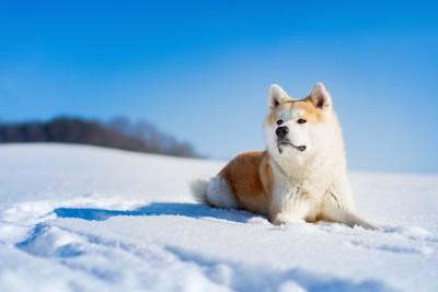 雪の上に伏せている秋田犬