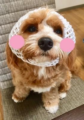 頭巾をかぶる犬