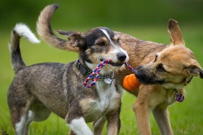 1つのおもちゃをくわえる2匹の犬