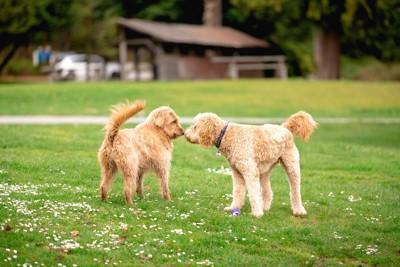 芝生の上で鼻を合わせる2頭の犬