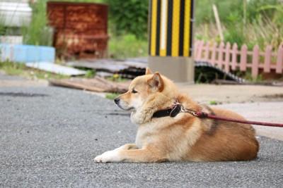 外でリードで繋がれた柴犬