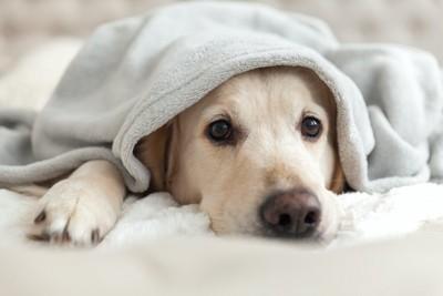毛布にくるまって寝そべる犬