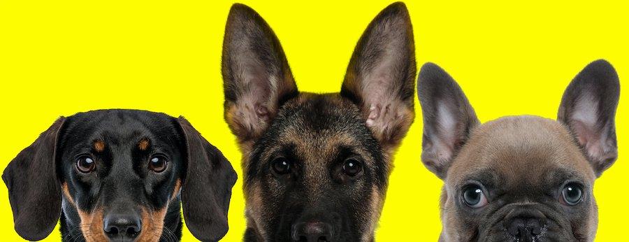 黄色をバックにした3種の犬の顔