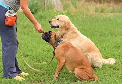 訓練中のゴールデンとボクサー犬