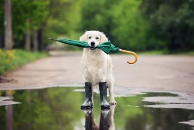 水溜りに立って傘をくわえる犬